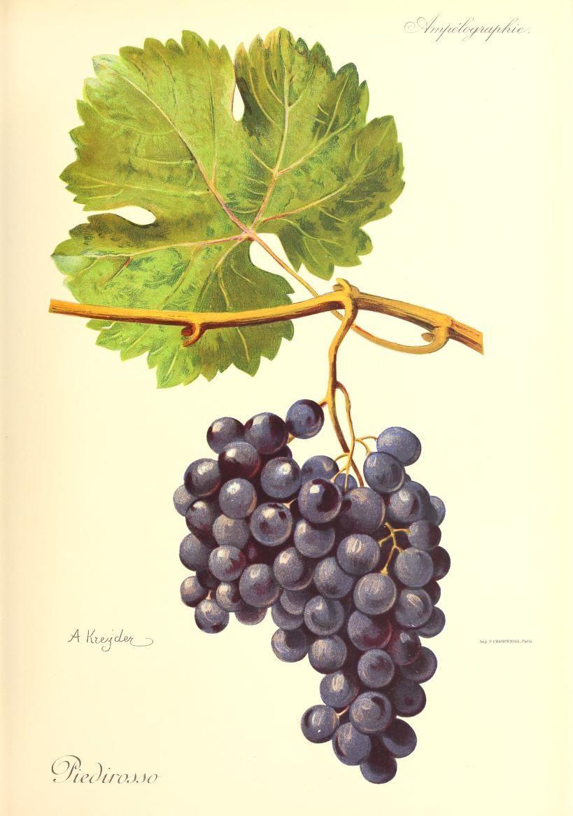 piedirosso foto uva